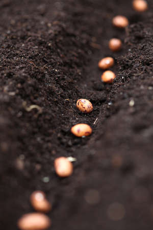 ramification: Close up of line of bean seeds in hole Stock Photo