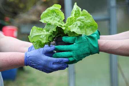 flowerpots: Gardeners moves young lettuce seedling to flowerpot