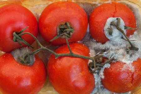 inedible: Tomatos atacked by ugly white mold - waste