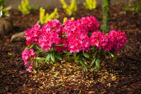 azaleas: A trim flowerbed with pretty blooming azaleas