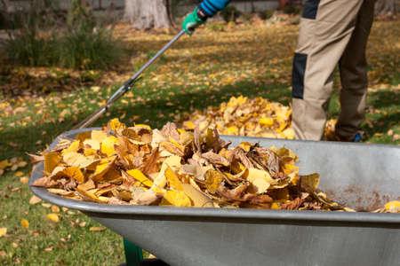 Gardener raking autumn leaves in the garden