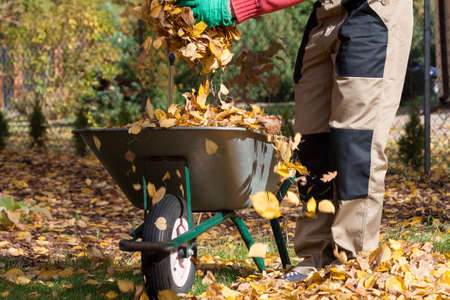 Wheelbarrow on the backyard full of yellow leaves photo