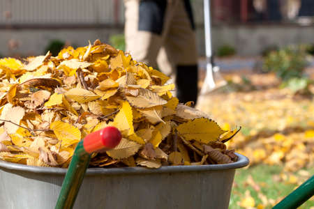 barrow: Autumn yellow leaves in a wheelbarrow with the gardener in background