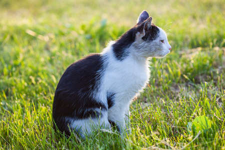 A black and white cat standing on a meadow
