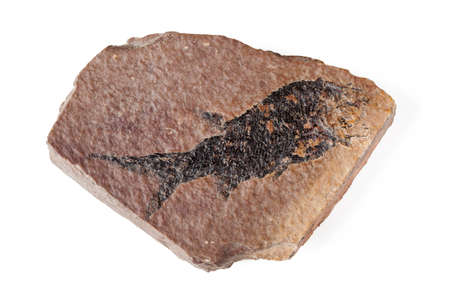 fossilized: Big mineral fossil with black fish imprint on white background