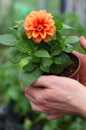 Seedling of young orange dahlia photo