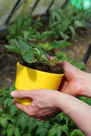 rooting: Strawberry seedling in yellow flowerpot