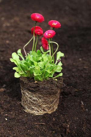 raíz de planta: Plántulas margarita roja con raíces listos para la siembra