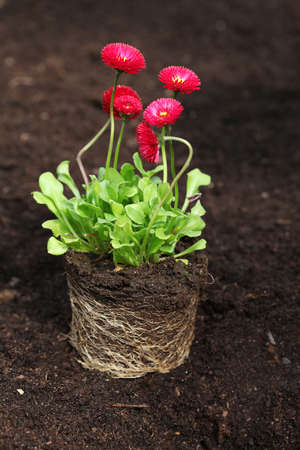 horticulturist: Red daisy seedling with roots ready for planting