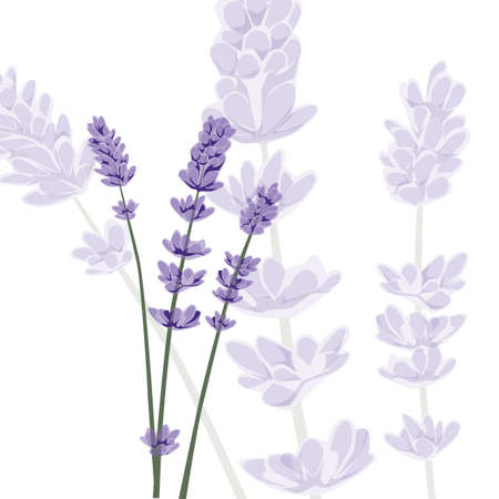 Purple lavender on isolated background Çizim