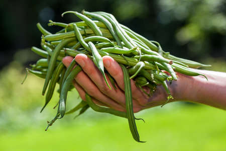 Fresh green string beans held in hand photo