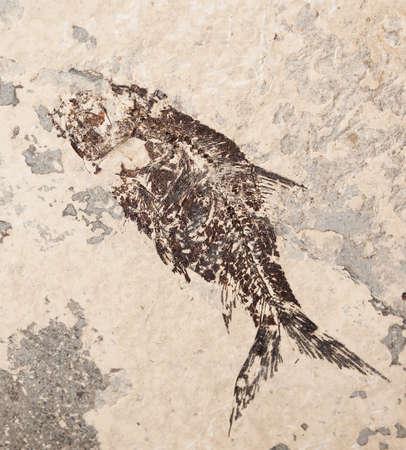 Beautiful prehistoric fish imprint on the stone in closeup  photo