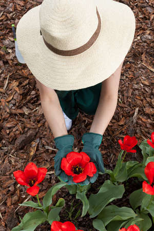 Female gardener during planting red flowers, vertical