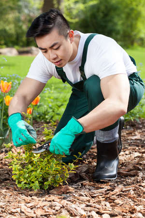 cropping: Asian gardener cropping a plant in a garden