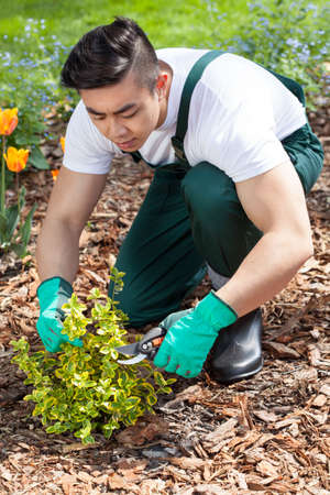cropping: Asian gardener cropping a plant in garden Stock Photo