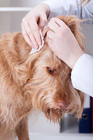 Vet cleaning red dogs ear at veterinary clinic photo