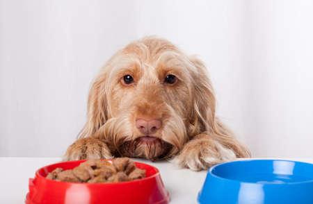 Funny perro mirando y esperando con impaciencia a los alimentos