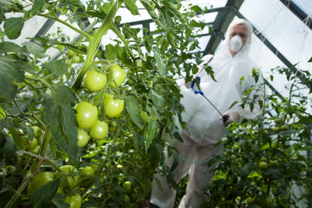 tomate de arbol: Hombre con aerosol para los tomates en invernadero Foto de archivo