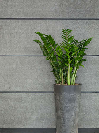 houseplant: Beauty plant in flowerpot on gray background