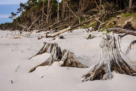 tree  forest: Close-up of tree stumps on beauty wild beach