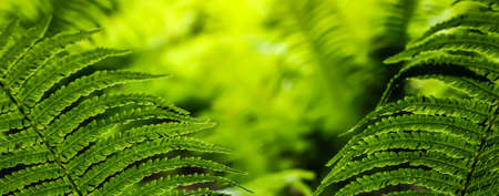 tropical forest: Close-up of beauty green leaves of fern