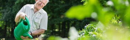 landscape garden: Panorama of elderly happy gardener watering green bushes