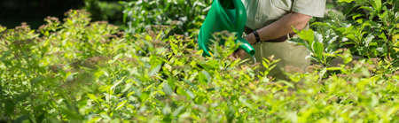 shrubs: Panorama of man with watering can among shrubs gardening Stock Photo