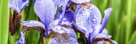to thrive: A field full of beautiful blue irises