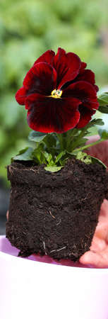 potting: Potting seedling of red pansy