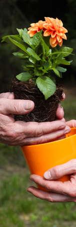 offshoot: Putting orange dahlia seedling into new flowerpot