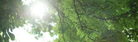 Panorama of green tree leafs on sunny summer day