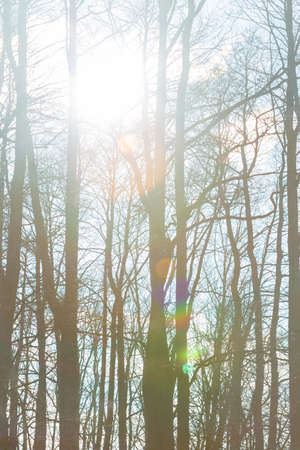 winter trees: Sun is shining through the trees