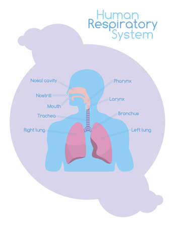 respiratory system: White chart with human scheme showing respiratory system with signed structures