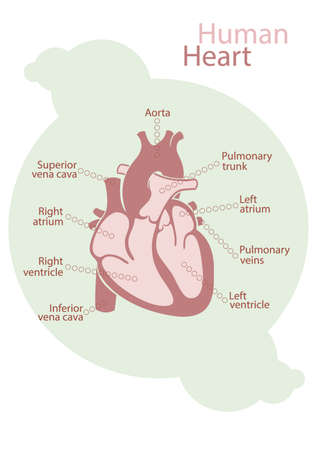 with aorta: Chart of pink human heart with signed structures of white background