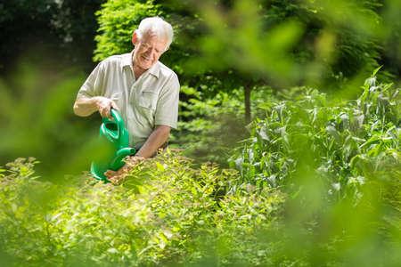 elder tree: Gardener is watering his plants using watering can Stock Photo