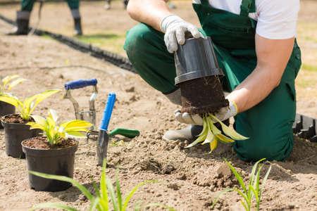 Gärtner, der die Pflanze aus dem Blumentopf herausstellt Standard-Bild - 77958888