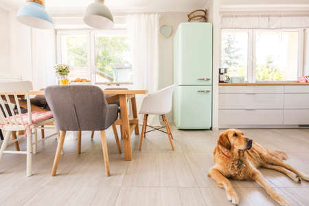 Dog lying on the floor in real photo dining room and kitchen interior with windows, wooden table with chairs, pastel lamp and neo mint fridge