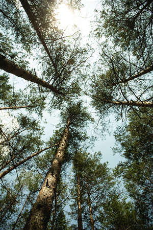 A view from the bottom to the crowns of forest trees and sky. Wallpaper for your ceiling