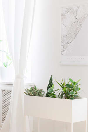 Close-up of a white plant pot with plants, map on the wall and curtain in bright living room interior. Real photo