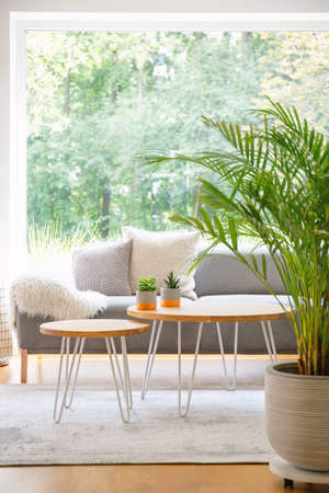 Two hairpin tables with cactus standing on carpet in bright daily room interior with fresh plant, window and grey sofa in the real photo