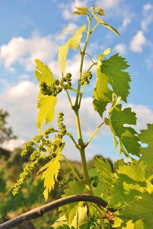 foglie: tralcio di vite con grappolo di uva in crescita