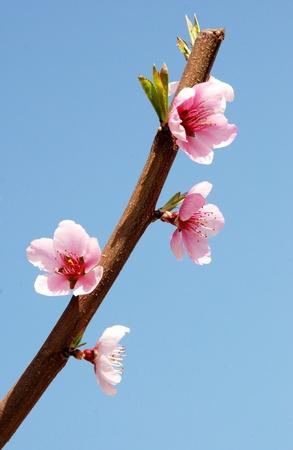 桃の花ピンクの桃の花支店