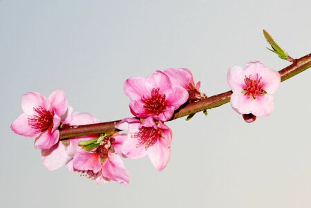 Peach flower branch in bloom pink blossoms of peach photo