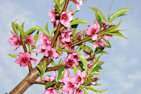 Peach flower branch in bloom pink of peach photo