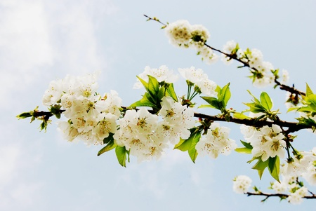 Branch of cherry blossoms photo