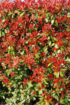 luxuriance: Photinia lush in spring