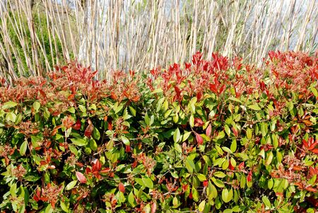 luxuriance: Photinia lush in spring