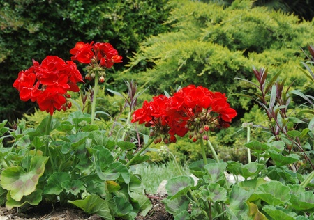 Red geranium in the garden photo
