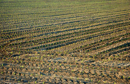 furrows: Fields with furrows sown and germinated Stock Photo