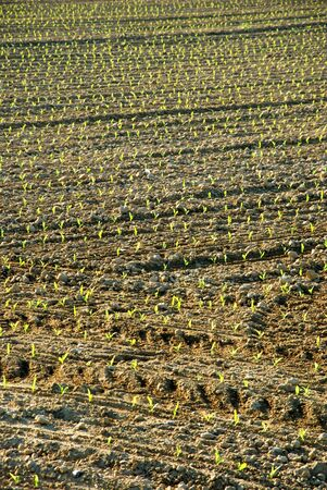 furrows: Field with furrows sown and germinated Stock Photo